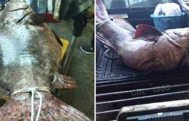 Ngeri, Nelayan Ini Kaget Dapat Ikan Kerapu Raksasa, Beratnya 140 Kilogram