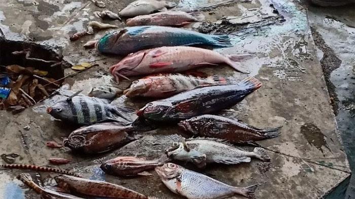 Ratusan Ikan Mati Mendadak, Air Laut Berubah Jadi Kecoklatan, Warga Ternate Heboh