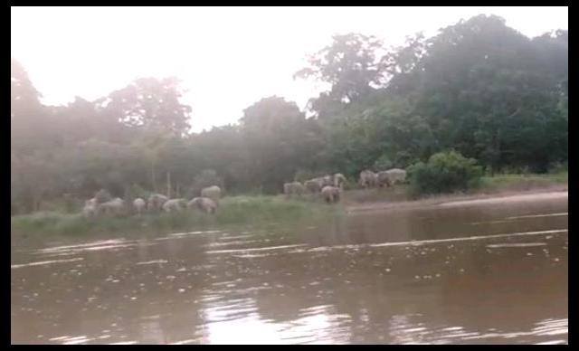 Warga Langgam Gempar, 12 Ekor Gajah Liar Masuk Kampung dan Rusak Tanaman