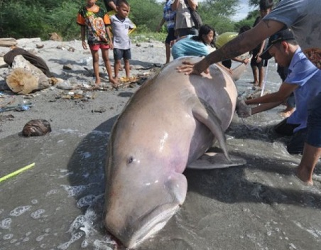 Dua Ekor Dugong Ditemukan Mati di Perairan Dumai