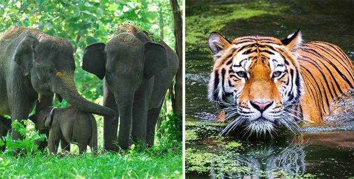 Miris! Jumlah Gajah dan Harimau Sumatera di Riau Terus Berkurang, Tinggal Segini