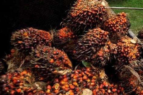 Kabar Buruk! Harga TBS Sawit di Riau Kembali Turun