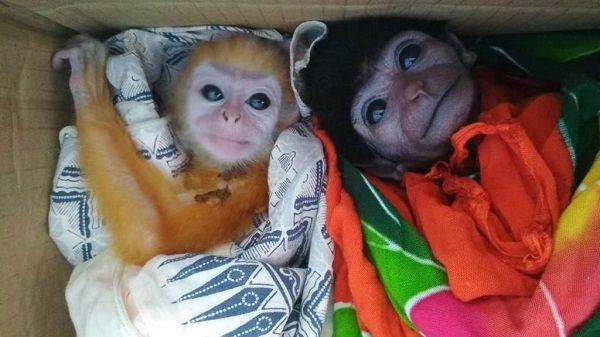 Hasil Patroli di Medsos, BBKSDA Riau Gagalkan Perdagangan Owa, Lutung dan Monyet Ekor Panjang
