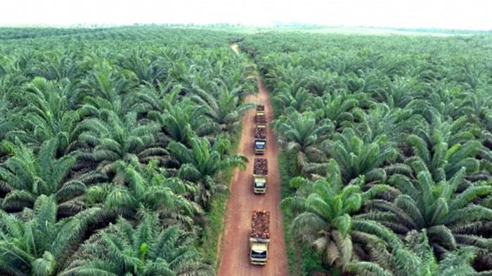 Pengamat Nilai Syamsuar akan Sulit Tertibkan 1 Juta Ha Sawit Ilegal di Riau
