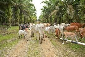 JANGAN KAGET, di Riau Ada 'Kampung Sapi', Populasinya10.000 Ekor, Disini Tempatnya...
