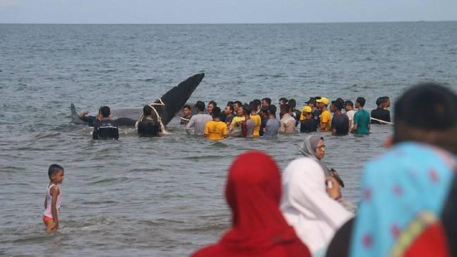 Diduga Tersesat, Jumlah Paus Terdampar di Ujong Kareueng 10 Ekor, Dua Luka-luka