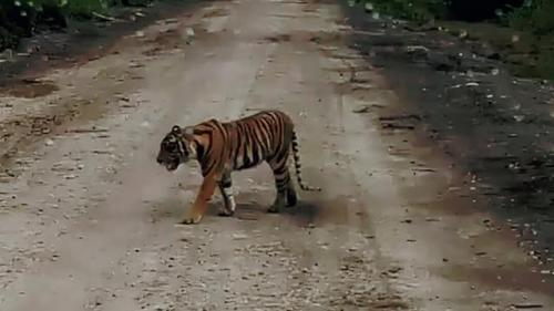 Tak Kunjung Berhasil, Petugas Ubah Strategi Tangkap Harimau Bonita