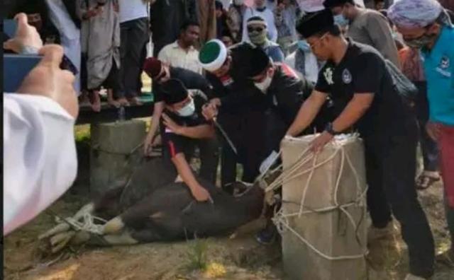 Ditemani Juleha, Ustadz Abdul Somad Perdana Menyembelih Hewan Kurban, 'Jangankan Sapi, Ayam pun Tak Pernah'