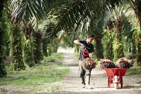 Naik Lagi, Berikut Daftar Harga TBS Sawit di Riau Sepekan Kedepan